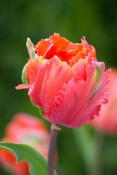 Tulipa 'Orange Favourite'