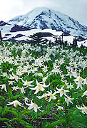 Closeup of avalanche lilies (Erythronium) in Spray Park, Mt. Rainier National Park, Washington, USA..Published in the Made in Washington Stores Catalog, Spring/Summer 2007.