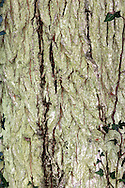 Dutch Elm Ulmus x hollandica (Ulmaceae) HEIGHT to 30m<br /> Tall and rather straggly hybrid tree.  BARK Brown, cracking into small, shallow plates. BRANCHES Higher branches are longer than ones lower down, and are spreading. LEAVES Oval, toothed, to 15cm long, sometimes buckled. Leaf base is only slightly unequal. REPRODUCTIVE PARTS Papery fruits. STATUS AND DISTRIBUTION A naturally occurring hybrid, whose parents are presumed to include Wych Elm, Plot's Elm and Ulmus minor. Has a scattered range across southern England and south-west Wales and is found in hedgerows in lowland districts.
