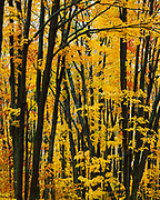 Autumn colors of Sugar Maples, Acer saccharum, Adirondack Park, Franklin County, New York.