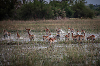 Red Lechwe herd running through water in the Okavango Delta, Botswana.
