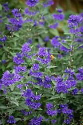 Bee on Caryopteris × clandonensis 'First Choice' - Bluebeard