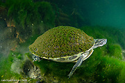 A Florida Cooter, Pseudemys floridana, swims in the clear water of Blue Springs State Park near Deltona, Florida.