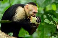 A white-faced capuchin monkey (Cebus capucinus) eats a unripe mango in Manuel Antonio National Park, Costa Rica.
