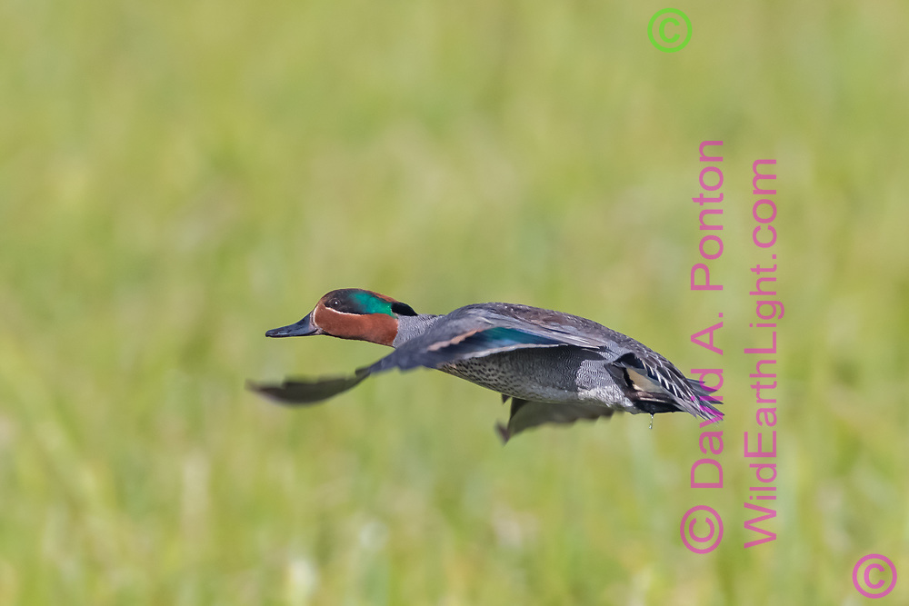Green-winged teal in flight over montane grassland, Yellowstone National Park, © David A. Ponton