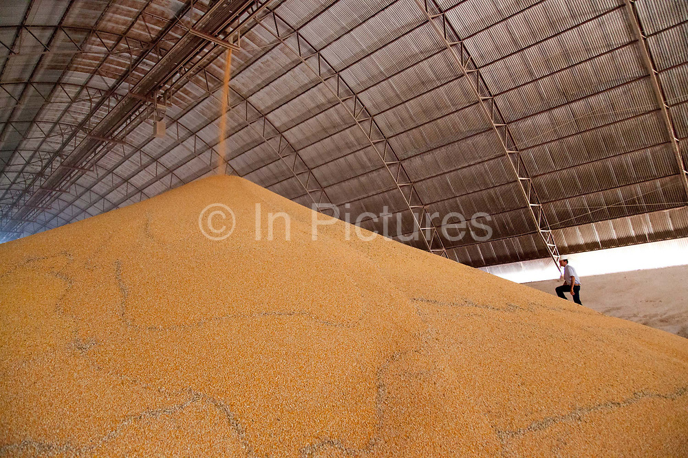 Man walking up a huge pile of Soya in a grain storage barn on a large soya and maize farm, this warehouse holds approximately 22,000 tonnes of grain. Brazil is the largest producer of Sugar and Beef, then second for Soya and third for Maize. Many of the farms are in the state of Mato Grosso and Mato Grosso do Sul, they are often enournmous, stretching for miles kilometres. A lot of the crops are processed on site and kept in large warehouses or silos.