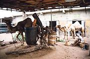 Camel walking around machinery milling millet in Yemen, 1998