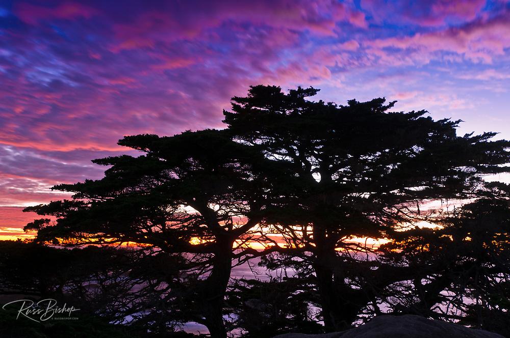 Cypress Trees (Cupressus macrocarpa) at sunset, Point Lobos State Reserve, Carmel, California USA