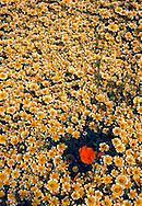 A single California Poppy in a field of Tidy Tips.  Bear Valley, California.