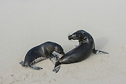 Galapagos Sea Lions (Zalophus wollebaeki)  on Beach<br /> Santa Fe<br /> GALAPAGOS<br /> Ecuador, South America<br /> Endemic