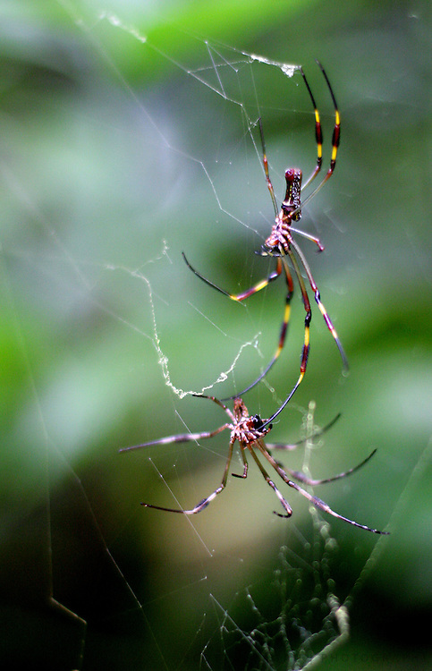 Spiders hunt on a web Thursday, Sept. 27, 2007 at the entrance to the Camuy Caves in Puerto Rico.