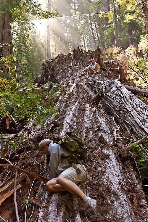 Jesse Hegeman descending a fallen Red Wood in northern California.