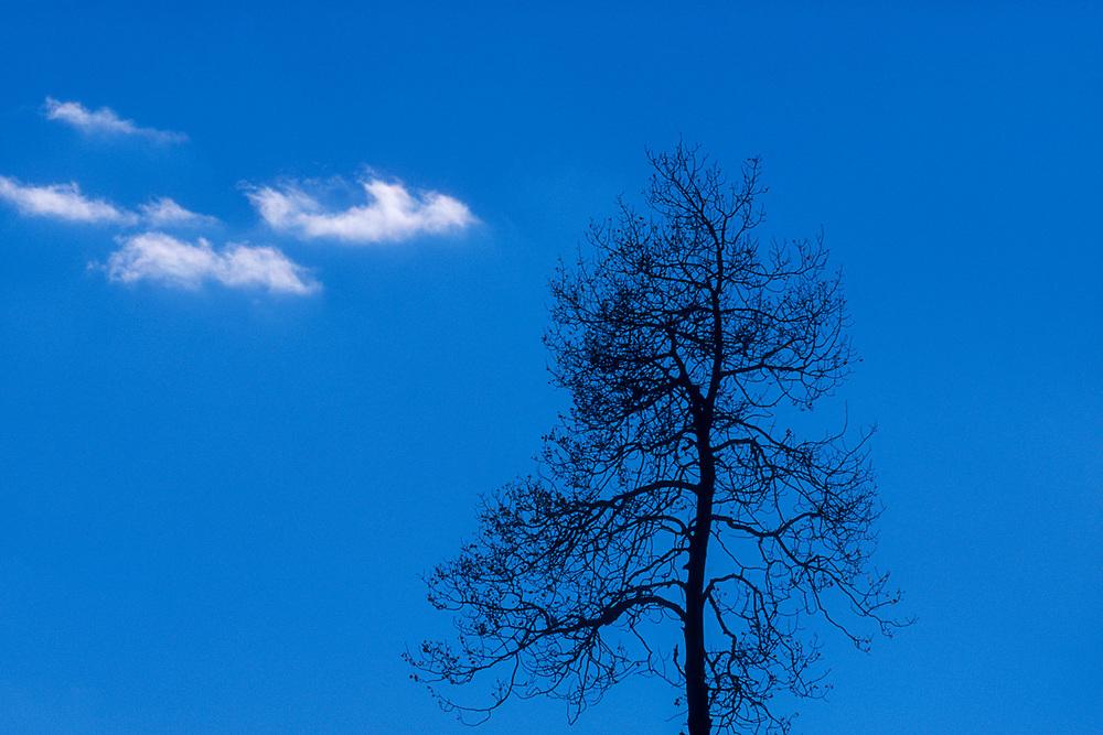 Aspen tree (Populus tremuloides), Grand Teton National Park, Wyoming, USA