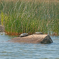 Painted Turtles (Chrysemys picta) sunbathe on a rock in Lake of the Woods, Ontario, Canada.