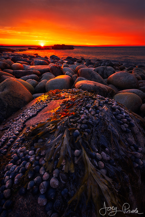 Periwinkles and kelp adorn a boulder along the rugged coast as an incredible sunrise emphatically marks the dawn of a new day. Acadia National Park, Maine.