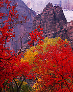 Reds of Bigtooth Maple, Acer grandidentatum, and yellows of Fremont Cottonwood, Populus fremontii, and Canyon Grape, Vitis Arizonica, with The Organ beyond, Zion National Park, Utah.