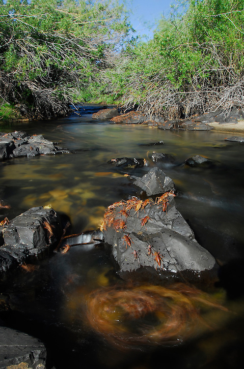 Mormon crickets migrating accross a stream in the Owyhee Mountains, Idaho.