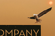 On the day that the smoke from the Thomas Fire in Southern California made the sky dark and the sun red 110 miles north, in Morro Bay, California, a seagul lands on the Morro Bay Fish Company sign. ©CiroCoelho.com. All Rights Reserved.