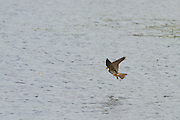 Hobby flying over Decoy Lake at Shapwick Heath National Nature Reserve.