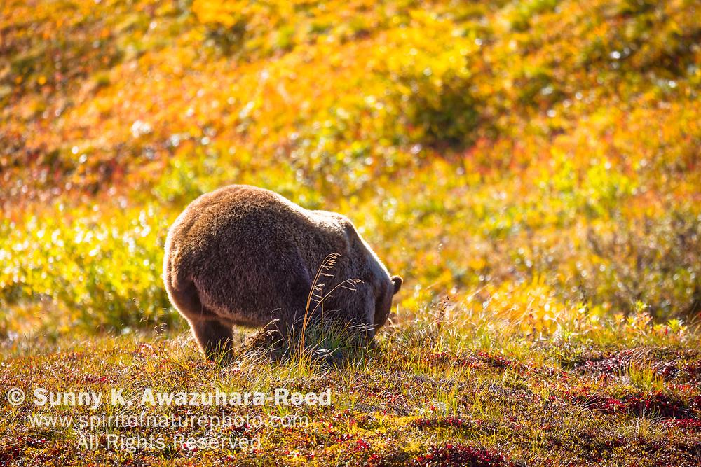 Close up of Grizzly Bear butt on fall color tundra. Denali National Park & Preserve, Interior Alaska, Autumn.