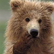 Alaskan Brown Bear, (Ursus middendorffi)  Cub sucking on paw. Katmai National Park. Alaska.