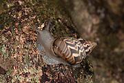 Land Sail, Orthalicus principes Broderip, Panama, Central America, Gamboa Reserve, Parque Nacional Soberania, climbing up tree, brown patterned shell