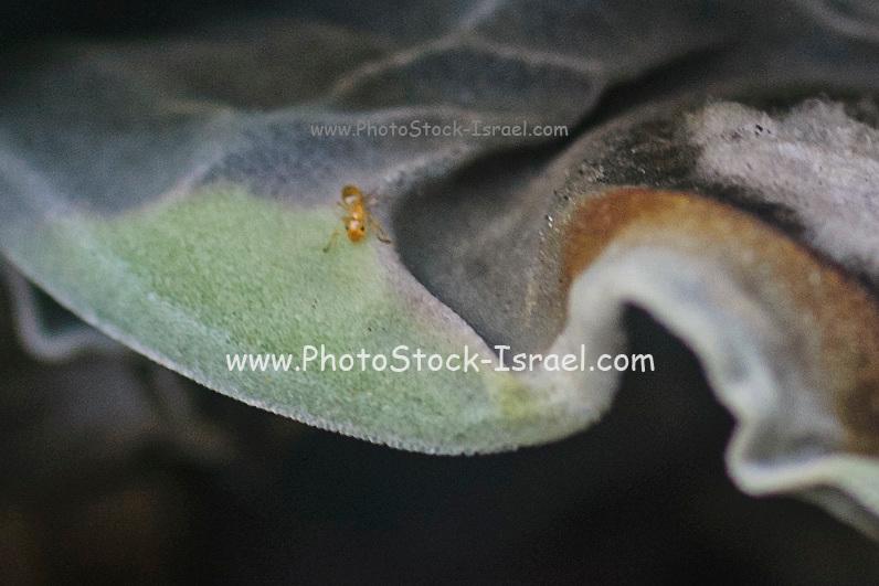 Mealybug damage to a Crassula falcata plant. Close up of a plant that has been damaged by mealybug