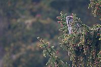 Great grey owl (Strix nebulosa) in spruce tree, Bergslagen, Sweden.