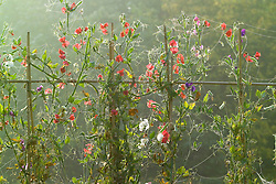 Sweet peas and cobwebs backlit on a misty autumn morning