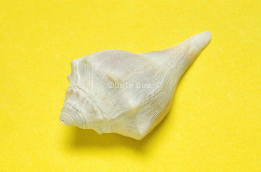 seashell on yellow background