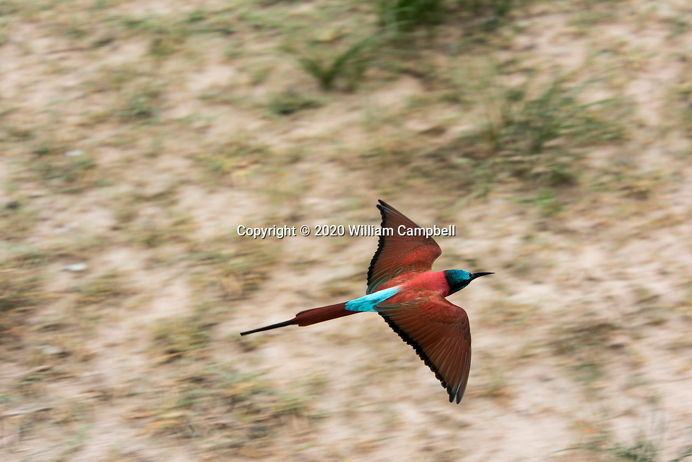 Northern carmine bee-eater, Merops nubicus, in the Selous Game Reserve, Tanzania. The 50,000 square kilometer Selous Game Reserve is a UN World Heritage Site and is one of the largest remaining wilderness areas in Africa. The reserve is threatened by the proposed construction of the Stiegler's Gorge Dam Project along the Rufiji River that will flood nearly 1000 square kilometers in the middle of the reserve. (Photo by William Campbell-Corbis via Getty Images)