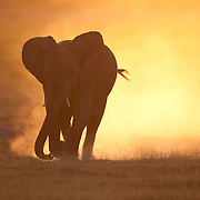 African elephant (Loxodonta africana) running in Amboseli National Park, Kenya, Africa.