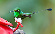 "The Booted Racket-tail (or Racquet-tail; or Racquet-tailed Hummingbird; Latin name Ocreatus underwoodii) in Bellavista Cloud Forest Reserve, in the ""Mindo Area of International Importance for Birds,"" Tandayapa Valley, near Quito, Ecuador, South America."