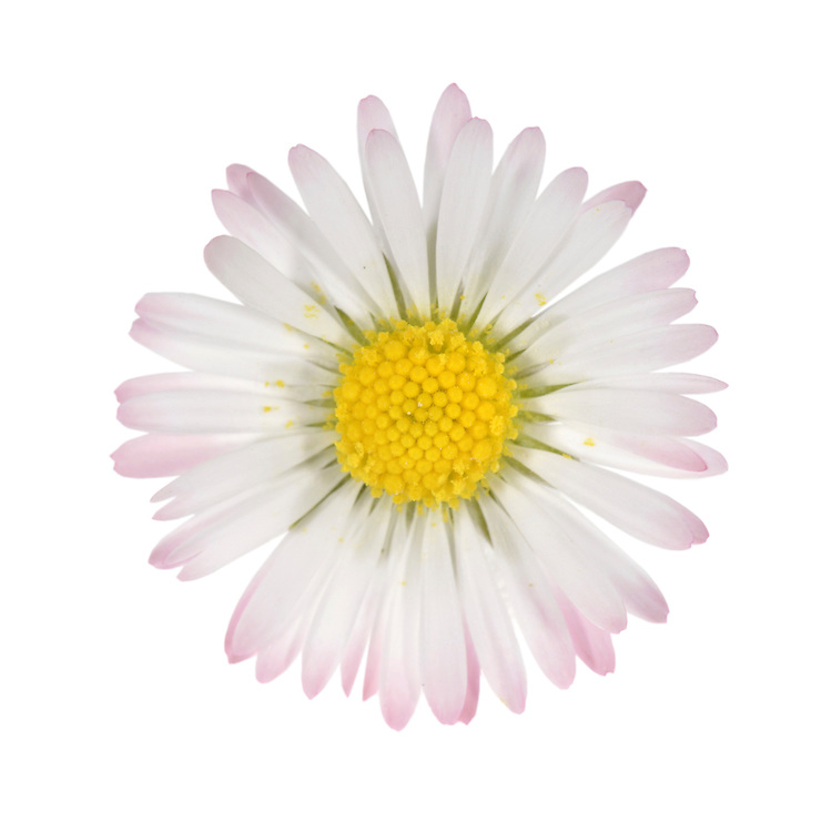 DAISY Bellis perennis (Asteraceae) Height to 10cm. Familiar, downy perennial found growing in lawns and other areas of short grass. FLOWERS are borne in solitary heads, 15-25mm across, on slender stems; they comprise yellow disc florets and white (often faintly crimson-tipped) ray florets (Mar-Oct). FRUITS are achenes. LEAVES are spoon-shaped and form prostrate rosettes from which flower stalks arise. STATUS-Widespread and common throughout the region.