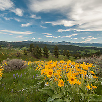 Arrowleaf Balsamroot, lupines and other wildflowers bloom in the southern Bridger Mountains near Bozeman, Montana.