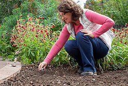Sowing annual seeds- cornflowers - outdoors in a gap in a border.