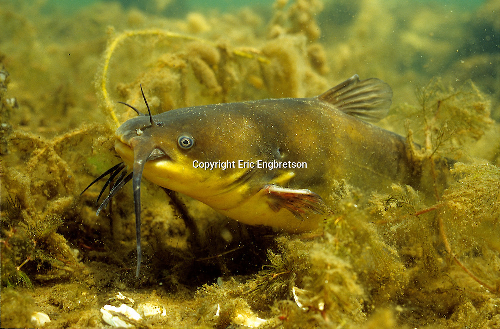 Black Bullhead<br /> <br /> ENGBRETSON UNDERWATER PHOTO