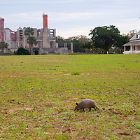 USA, Georgia, Cumberland Island. Nine banded Armadillo at Dungeness Ruins.