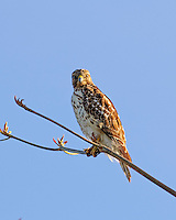 Broad winged Hawk,perched in a tree, in S.Florida.USA.