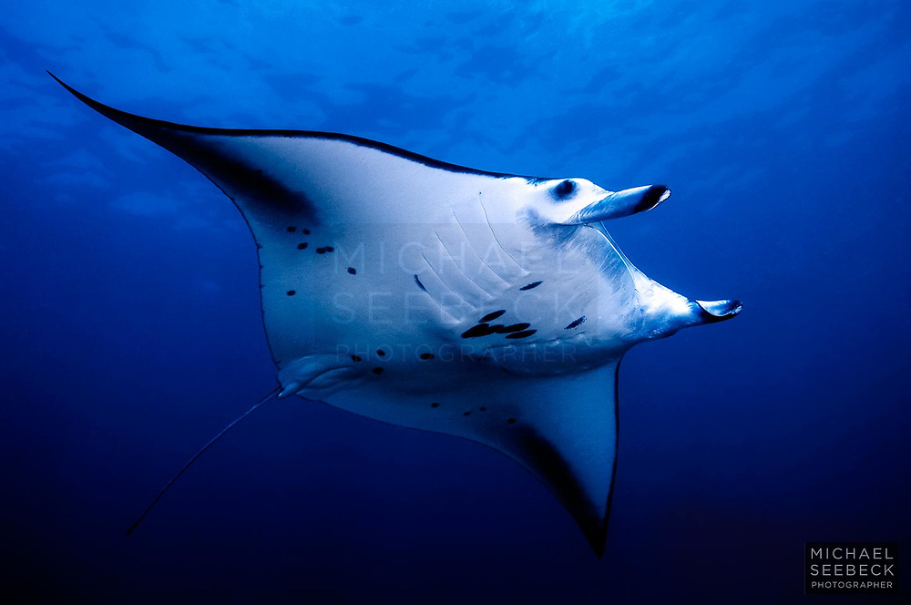 A large manta ray passes over on the way to a coral reef cleaning station.<br /> <br /> Limited Edition Print