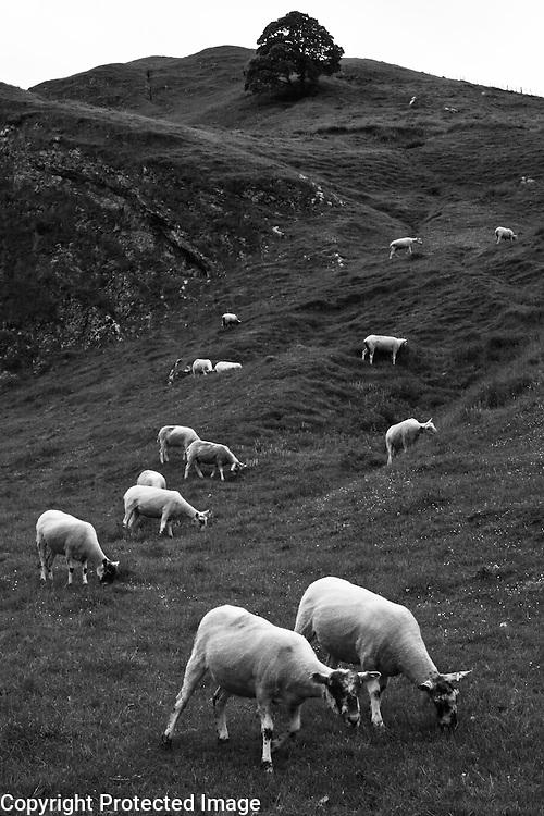 Recently sheared sheep grazing in Winnats Pass, Peak District, England
