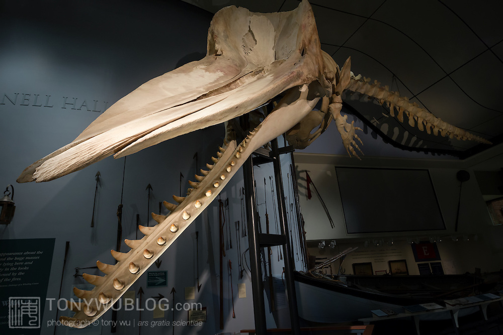 Skeleton of a 46-foot male sperm whale (Physeter macrocephalus) in the Nantucket Historical Museum. This whale stranded on New Year's day 1998.