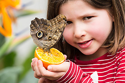 © Licensed to London News Pictures. 31/03/2015. London, UK. Eva Johnson (aged 9) with an owl butterfly sitting on an orange at the Sensational Butterflies exhibition at the Natural History Museum in London. The Sensational butterflies exhibition runs at the Natural History Museum in London from 2 April 2015 to 13 September 2015. Photo credit : Vickie Flores/LNP