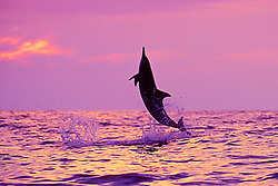 silhouette of Hawaiian spinner dolphin, Gray's spinner dolphin, or long-snouted spinner dolphin, Stenella longirostris longirostris, leaping at sunset, off Kealakekkua Bay, Big Island, Hawaii, USA, Pacific Ocean