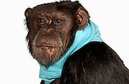 Deutschland, DEU, Krefeld, 2004: Projekt ueber die biologischen Wurzeln der Mode. Die Shootings hierfuer wurden mit Grossen Menschenaffen, die dem Menschen am naechsten sind, im Krefelder Zoo gemacht. Die Tiere waren weder zahm noch trainiert. Die Kleidungsstuecke wurden in die Gehege geworfen und was immer die Tiere damit anstellten, taten sie aus sich selbst heraus. Ein Eingreifen oder gar eine Regie war unmoeglich. Da das Verhalten der Affen im Mittelpunkt stand, wurden die Hintergruende von den Originalfotografien entfernt. Schimpansen-Weibchen mit einem Rock von Y 3. | Germany, DEU, Krefeld, 2004: Project to look at the basics and roots of fashion. The shootings took place in the Zoo Krefeld with three species of Great Apes who are the nearest to us. The animals were neither tamed nor trained. Whatever the animals did, they did on their own. Any intervention or directing was impossible. To set the focus on the behaviour of the animals itself we removed the background from the original photographs. Chimpanzee (Pan troglodytes) female Gombe with skirt from Y 3. |
