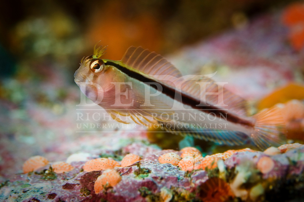 A Crested Blenny (Parablennius laticlavius) at Northern Arch, Poor Knights Marine Reserve New Zealand..Sunday 30  November 2008.Photograph Richard Robinson.Dive Number 127  Max Depth 26.5 m. Average Depth 10.7m. Temp 17 c. . O2 :21%.Bottom Time 80 min. Bottom Time to Date 5585 min Cumulative Time 5665 min.