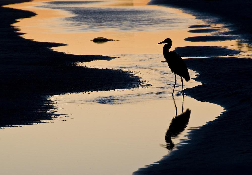 Twilight Heron