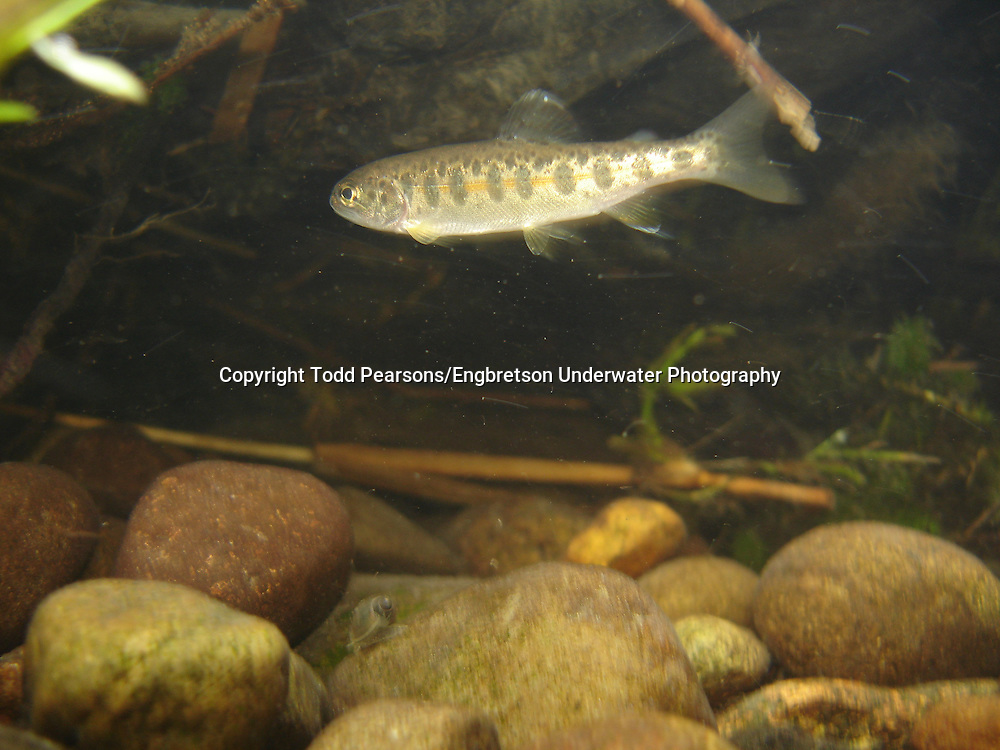 Rainbow Trout (Juvenile)<br /> <br /> Todd Pearsons/Engbretson Underwater Photography