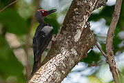 Ashy Woodpecker (Mulleripicus fulvus) from Tangkoko National Reserve, north Sulawesi, Indonesia.