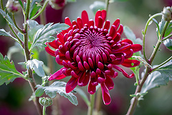 Chrysanthemum 'Bigoudi Purple'